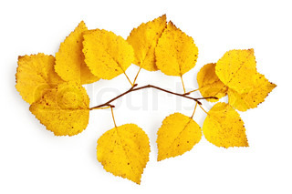 Sprig of birch with yellow leaves isolated on white background