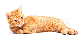 Red cute cat on a white background