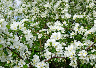 The white flowers of apple trees on a background of green leaves and blue sky