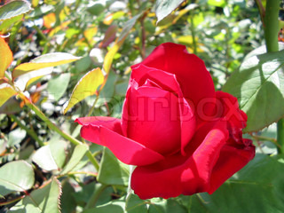 Blossoming red rose on a background of leaves on a sunny day