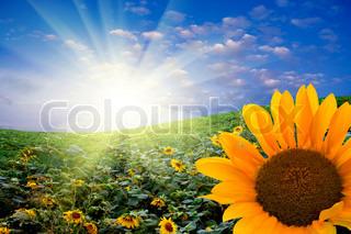Solsikker mod solen og himlen