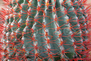 Blue cactus with red needle in park Nong Nuch
