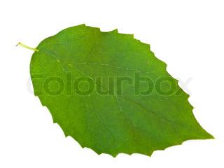 Eneste af de grønne blade mod den hvide baggrund