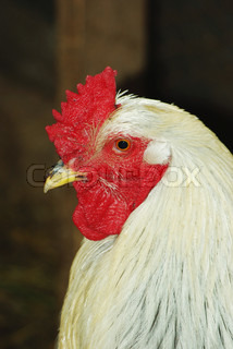 Portrait of white cock in the henhouse close up