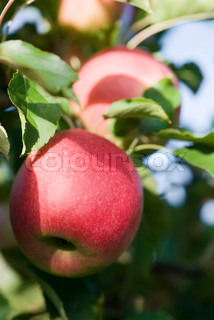 Apples growing on branch