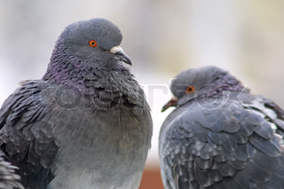 Two pigeons on a perch