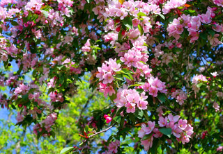 blossoming tree with pink beautiful flowers