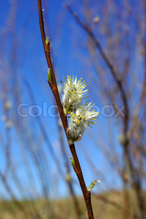 White willow catkins against  willow`s branches and blue sky
