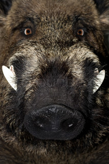 Head of a wild boar , close up .