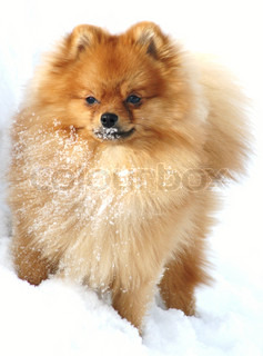 Pomeranian in snow