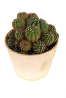 Cactus expanded in a pot with many heads on a white background