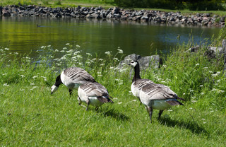 Geese walking by little pond on the island Suomenlinna, Finland