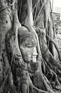 En sten leder af Buddha omgivet af træets rødder i Wat Prha Mahathat tempel i Ayutthaya , Thailand