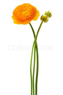 Smuk gul blomst på en hvid baggrund