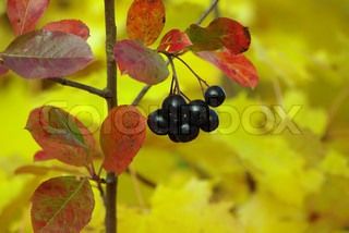 Ripe black chokeberry on the bush in autumn