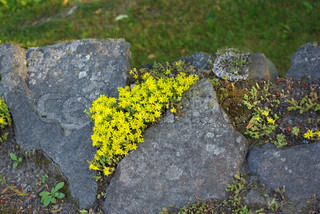 Moss in the garden with small yellow flowers