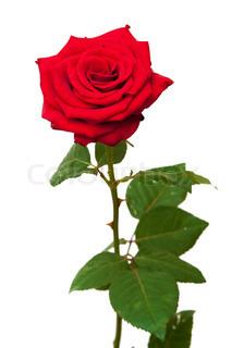 en rød rose på hvid