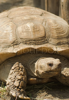 Mountain tortoise (Geochelone pardalis) in natural environment