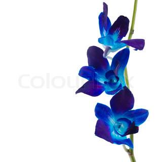 Deep Purple orkidé isoleret på en hvid baggrund