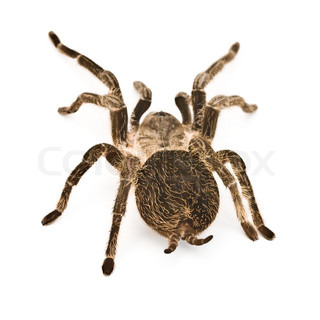 spider tarantula close up on white background