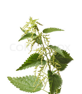 Stinging nettle or common nettle, Urtica dioica, is a herbaceous perennial flowering plant