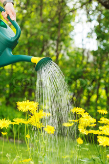 Watering yellow summer flowers with a green watering can.