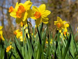 Billede af 'påskelilje, påskeliljer, foråret'
