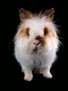 White Lionhead bunny, towards black | Stock Photo | Colourbox