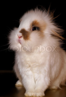 Portrait of a white lionhead bunny sitting proudly on golden deck with dark background