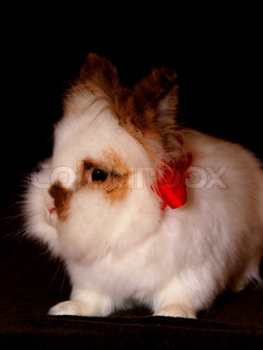 White Lionhead bunny on dark brown surface, and dark background with a red bow