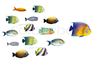 Lederskab koncept - Big Fish førende skole af tropiske fisk isoleret på hvidt