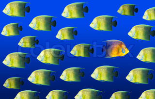 Going different way and standing out of crowd concept with angelfish