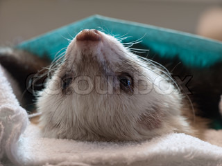 Ferret during surgery
