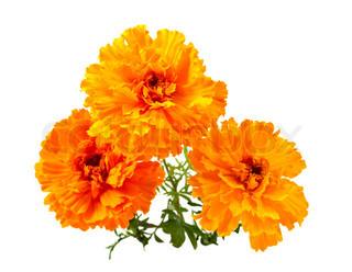 Marigold blomst på en hvid baggrund