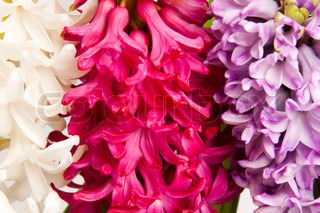 beautiful hyacinth, background texture, flowers