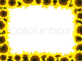 Photo of the yellow sunflower frame against the white background