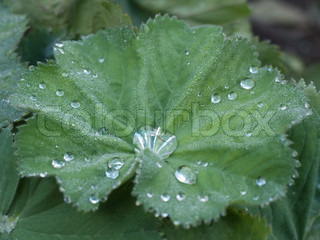 Lady's mantle plant with water drops