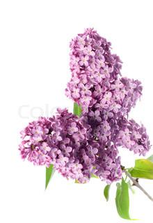 lilla afdeling isoleret på hvide , violette blomster på kvist