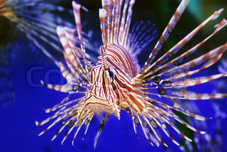 This is a beautiful lion fish in the sea