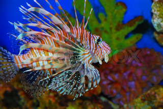Beautiful lion fish in the deep sea