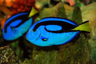 Beautiful blue fish near the corals in the deep sea