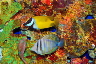 Tropical fishes near the colorful corals in deep sea