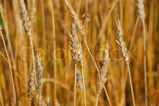 Cereal field of barley as a concept of harvest
