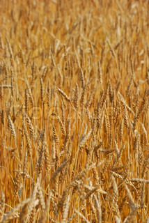 Cereal field of wheat as a concept of harvest