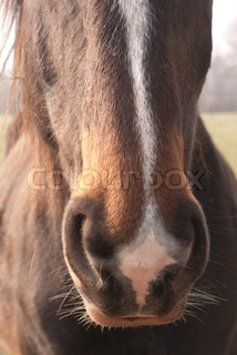 Close-up of the head and nose of a horse