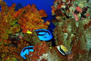 Tropical fishes near the corals in deep sea