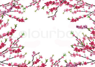 Cherry branch with pink flowers on a white background