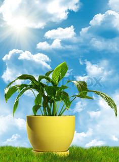 Green decorative plant in yellow flowerpot standing on grass. With cloudscape background.