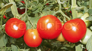 Red ripe tomatoes hanging on the bush