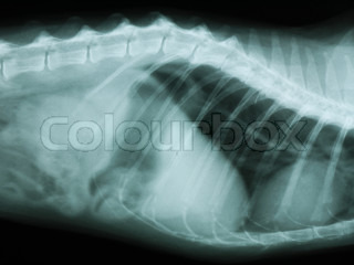 X-ray of the thorax and abdomen of a cat